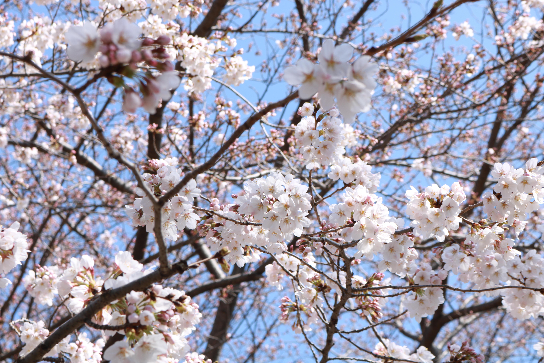ナチュラル薬膳生活カレッジ柏本校サロンのそばの明原公園の桜の花