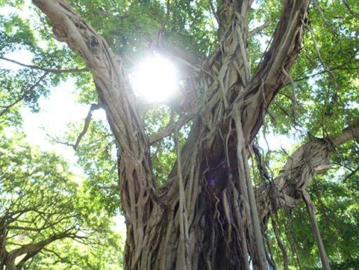 榕樹から注ぐ光