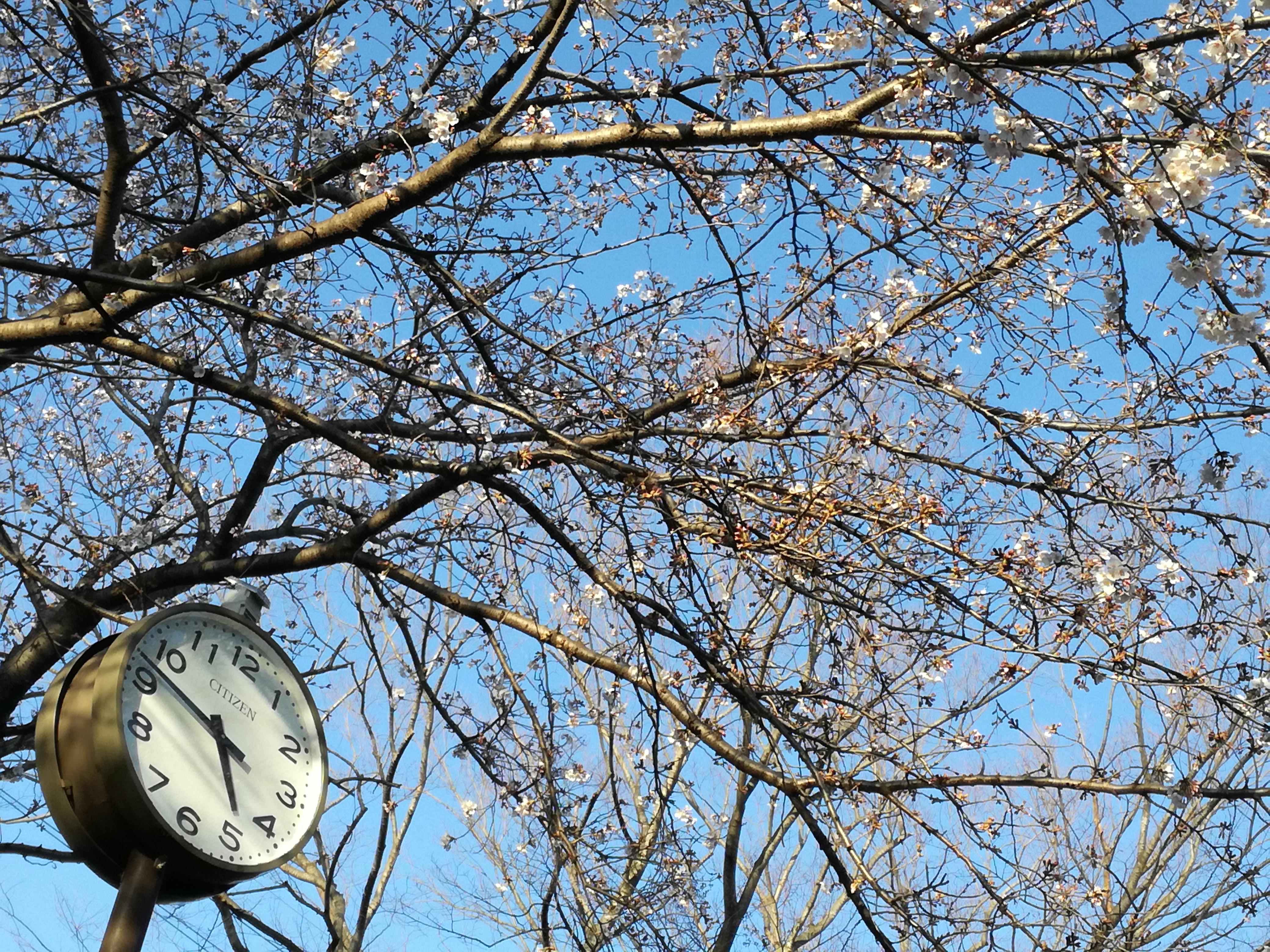2020年3月の薬膳教室のそばの明原公園の桜