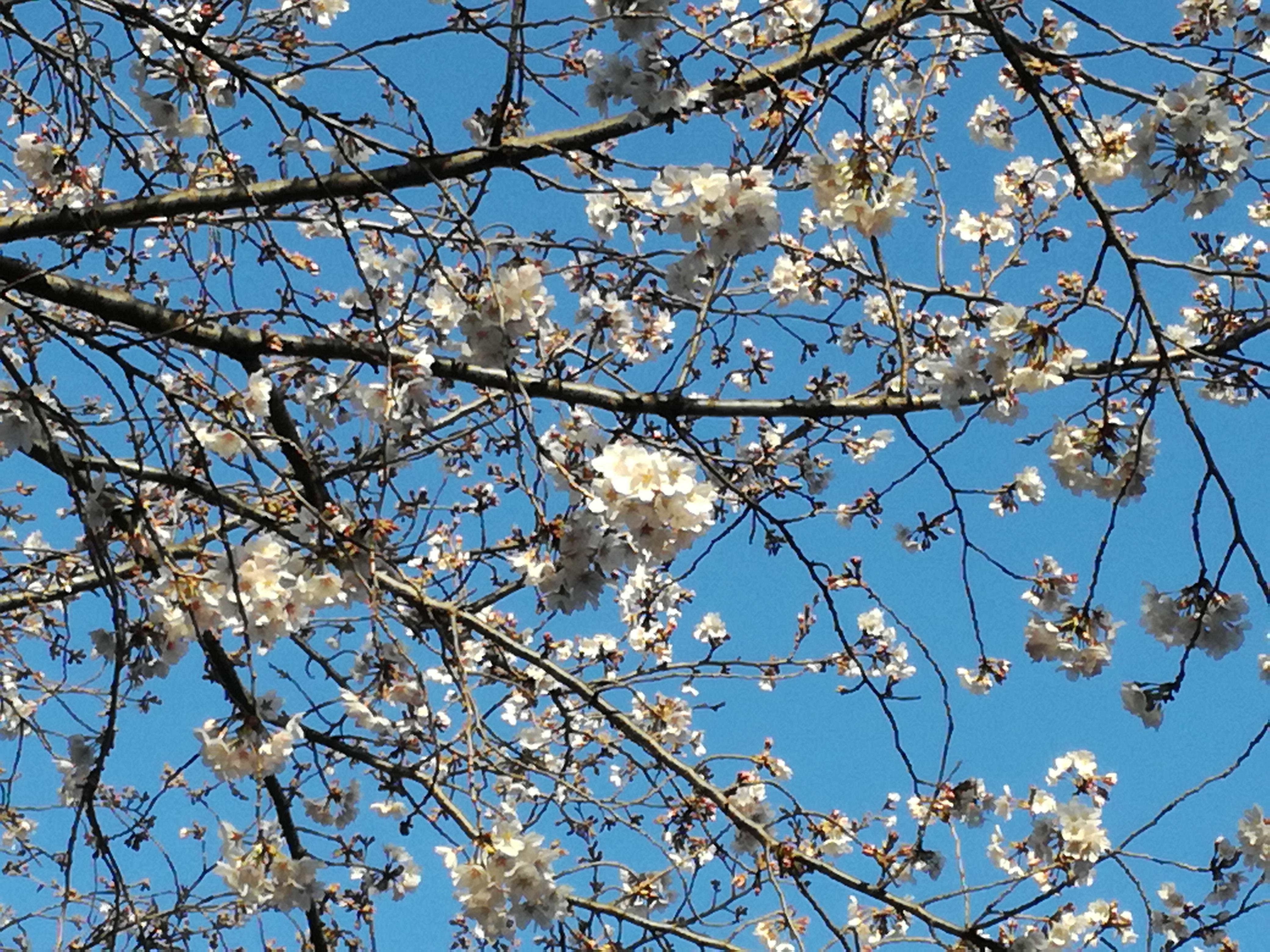 薬膳教室の生徒さんと眺めた明原公園の桜花