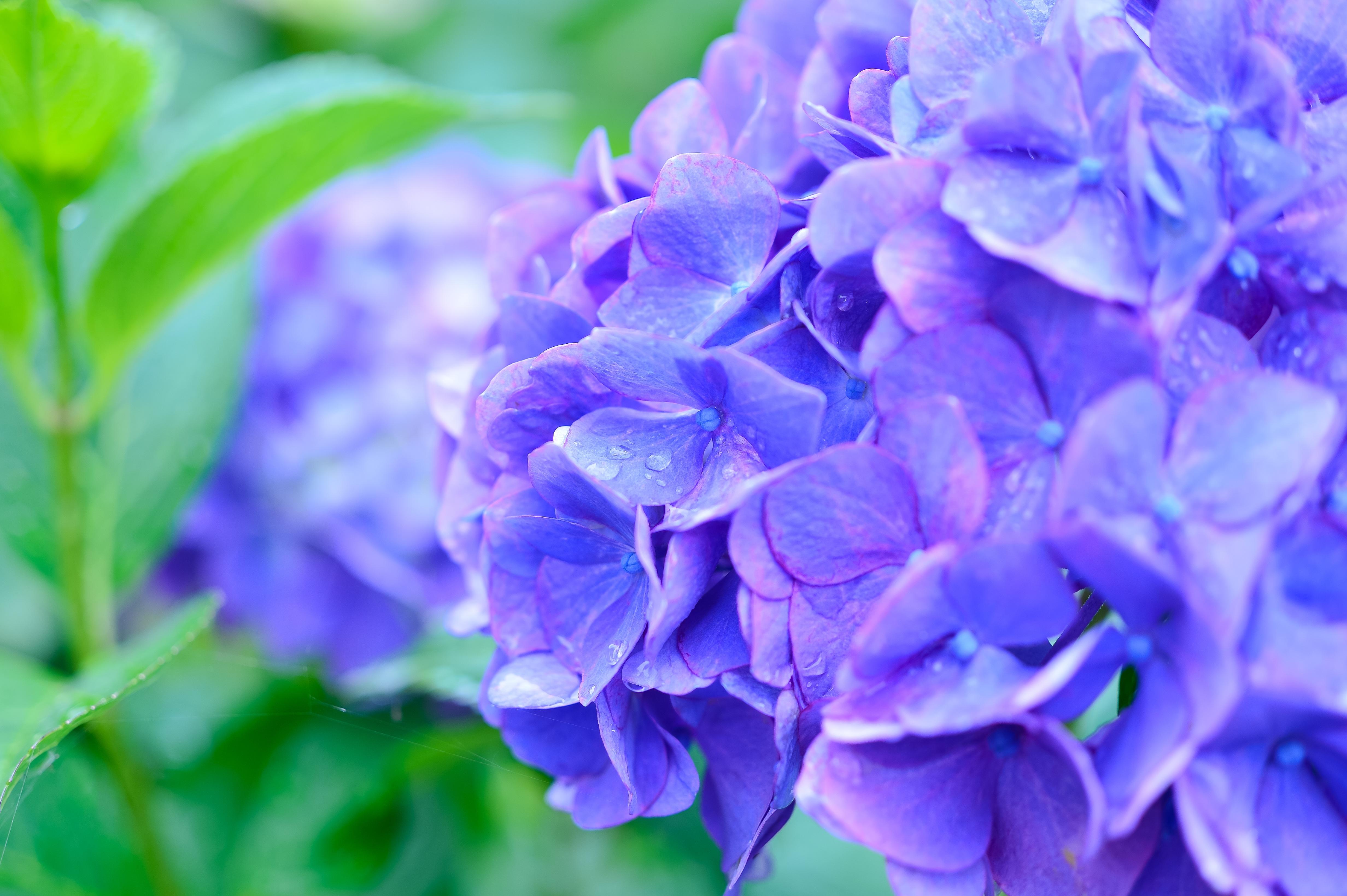 梅雨の雨に濡れる紫陽花