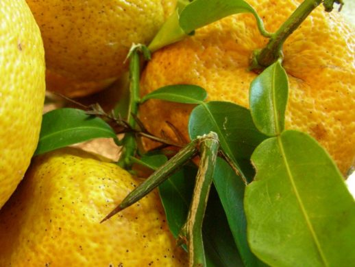 葉ととげ付きの柚子